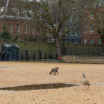 Urban fox out and about in Central London, UK